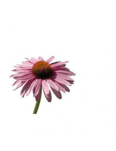 Echinacea BIO 15g biological dried for aromatherapy