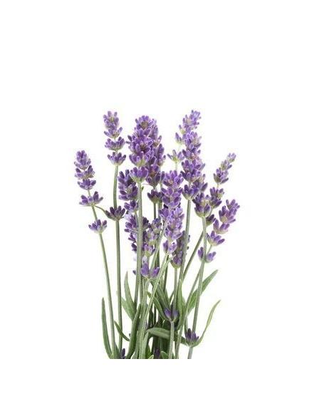 Lawenda BIO 15g susz biologiczny do aromaterapii