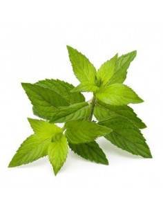 Peppermint BIO 15g biological dried for aromatherapy