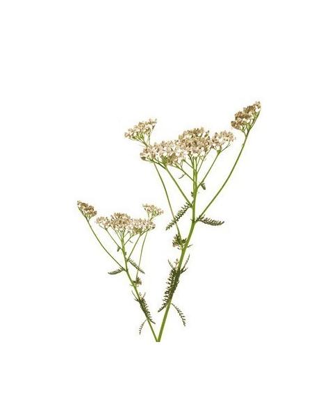 Krawnik BIO 15g susz biologiczny do aromaterapii