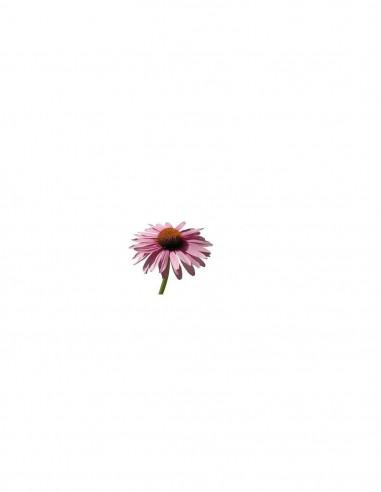 Jeżówka BIO (Echinacea) - susz...