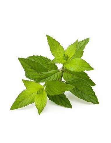 Peppermint BIO 10g biological dried for aromatherapy