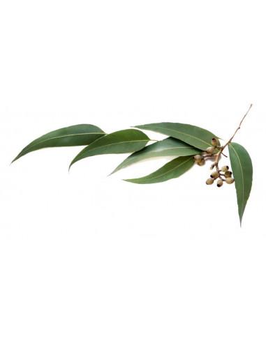 Eukaliptus BIO - susz do aromaterapii i waporyzacji